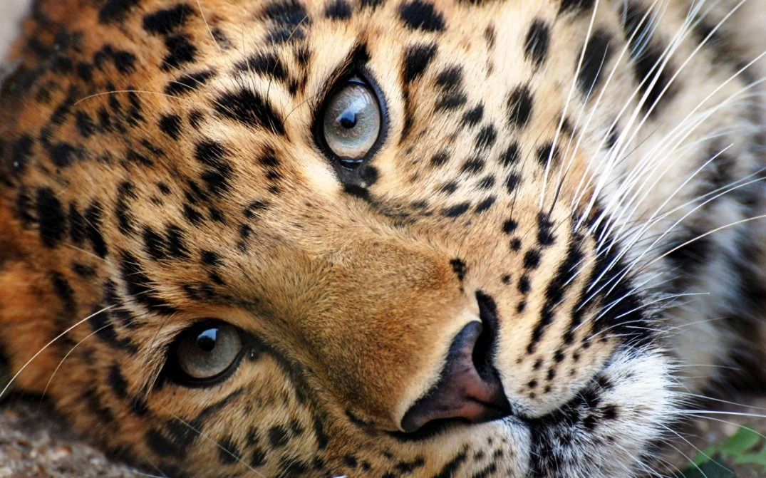 cheetah-nature-face-zoom-hd